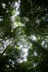Dipterocarp forest in Borneo -- sabah_4126