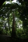 Dipterocarp forest in Borneo -- sabah_4129