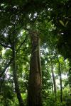 Dipterocarp forest in Borneo -- sabah_4130