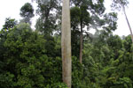 Mengaris tree in the Borneo rainforest