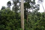 Mengaris tree in the Borneo rainforest