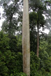 Mengaris tree in the Borneo rainforest -- sabah_4138