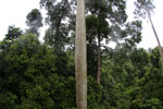 Mengaris tree in the Borneo rainforest -- sabah_4139
