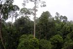 Borneo rainforest -- sabah_4140