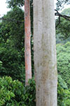 Mengaris tree in the Borneo rainforest -- sabah_4144