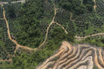 Land being opened for oil palm