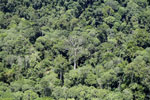 Emergent rainforest tree in Borneo -- sabah_aerial_0809