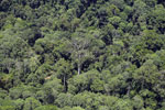 Emergent rainforest tree in Borneo -- sabah_aerial_0810