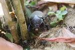Giant beetle -- sabah_aerial_0986