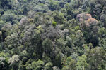 Flowering rainforest trees -- sabah_aerial_1749