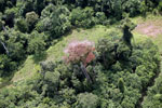 Flowering rainforest trees -- sabah_aerial_1752