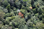 Flowering rainforest trees -- sabah_aerial_1758