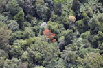 Flowering rainforest trees -- sabah_aerial_1759