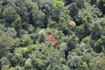 Flowering rainforest trees -- sabah_aerial_1761