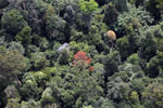 Flowering rainforest trees -- sabah_aerial_1762