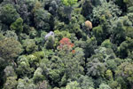 Flowering rainforest trees -- sabah_aerial_1763