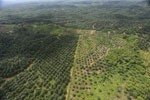 Oil palm plantation in a lowland area near Sandakan, Sabah -- sabah_aerial_2979