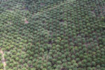 Palm oil plantation in Borneo -- sabah_aerial_3088