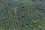 Palm oil plantation in Borneo -- sabah_aerial_3093