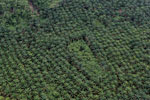 Palm oil plantation in Borneo