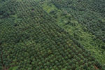 Palm oil plantation in Borneo -- sabah_aerial_3098