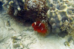 Clownfish with an anemone -- sabah_underwater_0014