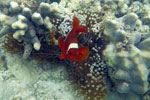 Clownfish with an anemone -- sabah_underwater_0017