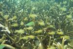 Fish -- sabah_underwater_0019