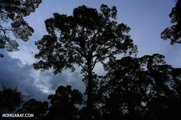 El bosque en Borneo