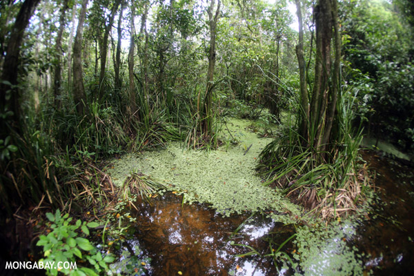 Peat swamp in Borneo. Photo by: Rhett A. Butler.