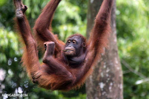 Orangutan at rehabilitation center in Malaysian Borneo. Many orangutans have been orphaned by forest loss and deliberate killing of orangutans. Photo by: Rhett A. Butler.
