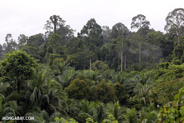 Oil palm vs rain forest in Malaysia.