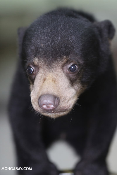 Adorable baby sun bear