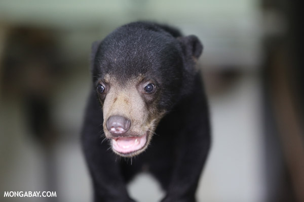 Young Malayan sun bear (Helarctos malayanus) at a rehabilitation center. The species is listed as Vulnerable by the IUCN Red List. Photo by: Rhett A. Butler.