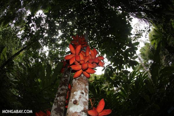 Kelumpang Sarawak (Sterculia megistophylla).