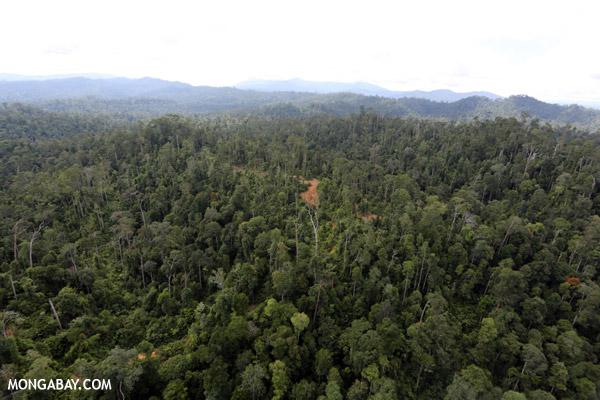 Incluso la tala selectiva como esta, en Sabah, Borneo Malayo, puede ocasionar que un bosque pierda varias de las cualidades de bosque primario. Foto: Rhett A. Butler.