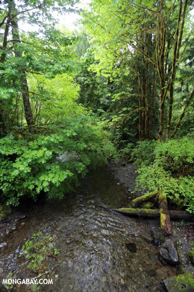 Rainforest near Lake Quinault [olympic_rainforest_0006]
