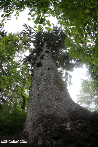 Giant Sitka spruce [olympic_rainforest_0056]