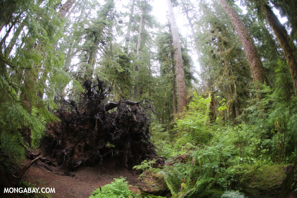 Uprooted spruce tree