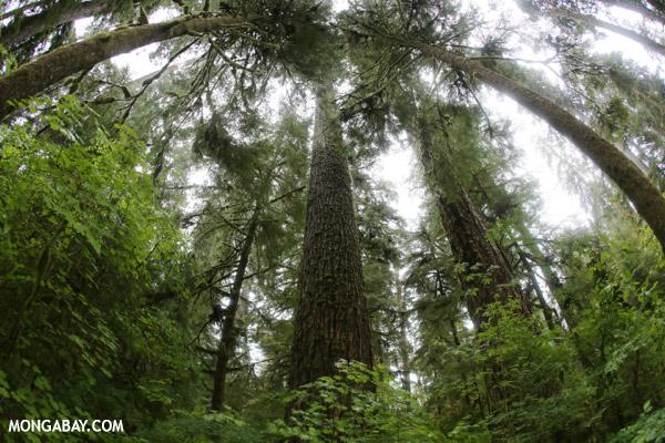 Temperate rainforest on Washington's Olympic Peninsula [olympic_rainforest_0132]