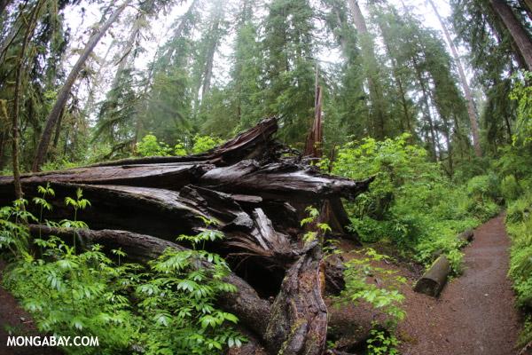 Fallen spruce