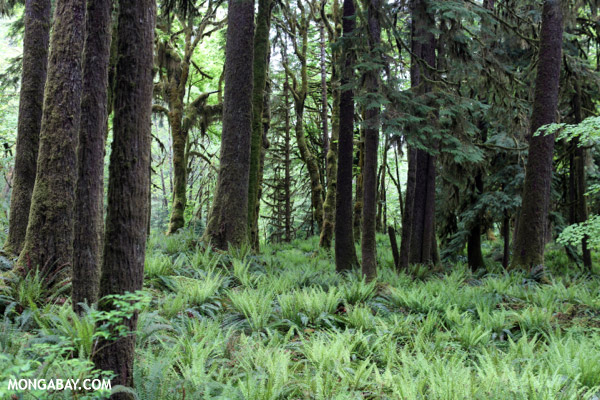Temperate rain forest in the Pacific Northwest [olympic_rainforest_0217]