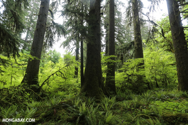 Temperate rain forest in the Pacific Northwest [olympic_rainforest_0280]
