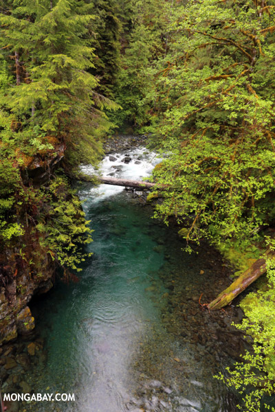 Blue water of Graves Creek [olympic_rainforest_0329]