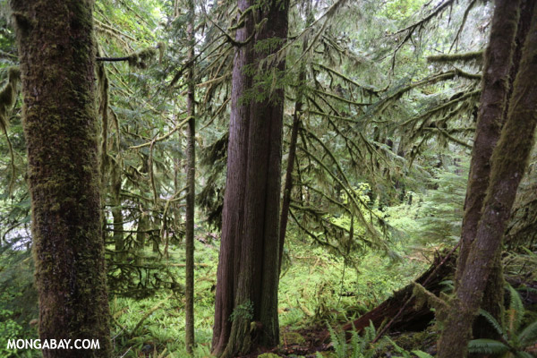 Temperate rain forest in the Pacific Northwest [olympic_rainforest_0338]