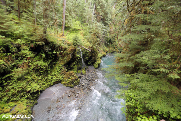Blue water of the Quinault river [olympic_rainforest_0385]