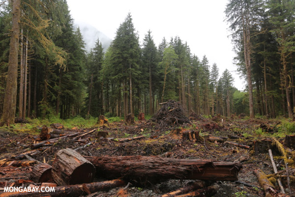 Temperate rainforest logging [olympic_rainforest_0475]