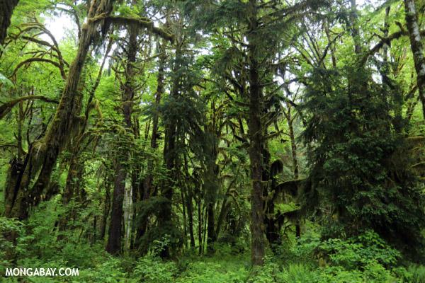 Hoh rainforest [olympic_rainforest_0585]
