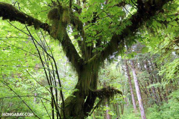 Hoh rainforest [olympic_rainforest_0592]