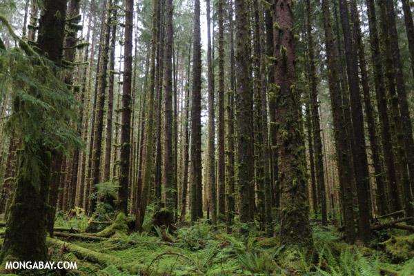 Hoh rainforest [olympic_rainforest_0595]